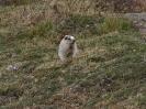 KEIN Squirrel..... ein MURMELTIER !!!!!!!