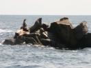 Natur pur: Seelöwen